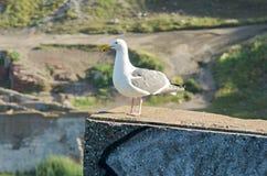 在岗位的海鸥在沿海美国场面附近 库存图片