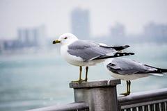 在岗位的海鸥在沿海美国场面附近 图库摄影