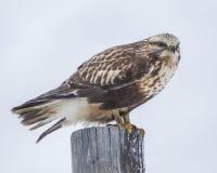 在岗位的腿上有毛的鹰 库存照片