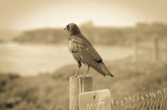 在岗位的黑乌鸦 免版税图库摄影