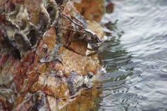 在岩石下的螃蟹由海 免版税库存照片