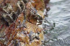 在岩石下的螃蟹由海 库存照片