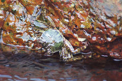 在岩石下的螃蟹由海 库存图片