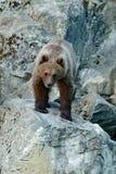 在岩石丢失的年轻棕熊 棕熊画象,坐灰色石头,动物在自然栖所,斯洛伐克 通配 免版税库存图片