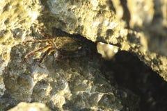 在岩石中掩藏的螃蟹 图库摄影