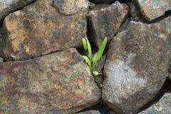 在岩石中的一棵小植物 库存照片