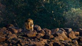 在岩石中的公狮子在南非 免版税库存照片