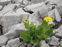 在岩石中的黄色花 库存照片