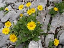 在岩石中的黄色花 免版税库存图片