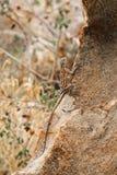 在岩石之间的一只蜥蜴在南非山 库存照片