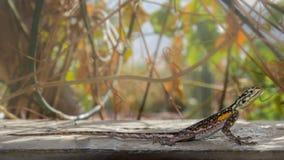 在岩石之间的一只蜥蜴在南非山 免版税库存照片