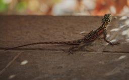 在岩石之间的一只蜥蜴在南非山 免版税图库摄影