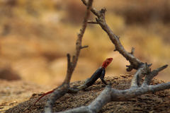 在岩石之间的一只蜥蜴在南非山 库存图片