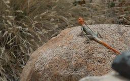 在岩石之间的一只蜥蜴在南非山 免版税库存图片
