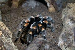 在岩石之间的塔兰图拉毒蛛 免版税库存图片