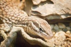 在岩石之间的小蜥蜴 免版税库存照片