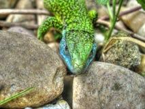 在岩石之间的蜥蜴 图库摄影
