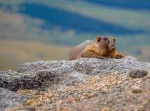在岩石俯视的谷的土拨鼠 免版税图库摄影
