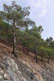 在岩石倾斜的杉木  库存照片