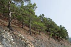 在岩石倾斜的杉木  库存图片