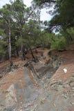 在岩石倾斜的杉木  免版税库存图片