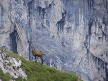 在岩石倾斜的羚羊在阿尔卑斯 库存图片