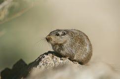 在岩石关闭的沙漠之鼠 图库摄影