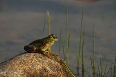 在岩石关闭的青蛙 免版税库存照片