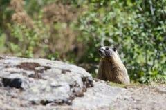 在岩石后的小土拨鼠。 免版税图库摄影