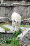在岩石和峭壁之中的石山羊 库存照片