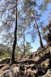 在岩石和石头的高杉树 图库摄影