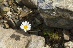 在岩石和石头,奥地利之间的美丽的雏菊延命菊 免版税库存图片