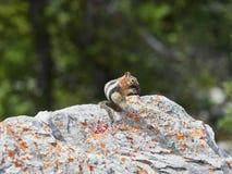 在岩石和被弄脏的树背景的金黄被覆盖的地松鼠 库存图片