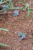 在岩石土壤中的三叶草 免版税库存照片