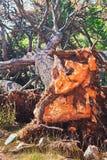 在岩石土壤的击倒的树与根 免版税库存图片