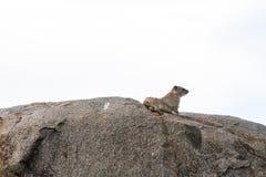 在岩石在塞伦盖蒂国家公园,坦桑尼亚的啮齿目动物 库存图片