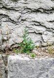 在岩石墙壁上的偏僻的树 库存图片