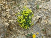 在岩石墙壁上的黄色高山花 库存照片