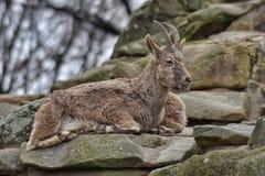 在岩石壁架的石山羊 库存照片