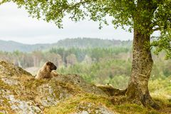 在岩石小山的绵羊 库存照片