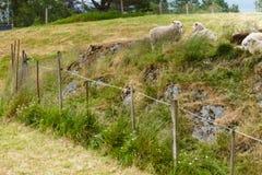 在岩石小山的绵羊 库存图片