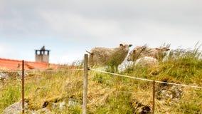 在岩石小山的绵羊 免版税库存图片