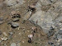四只大角野绵羊 库存图片