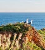 在岩石岸的两只海鸥在草。 免版税库存照片
