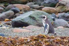 在岩石岸的企鹅 图库摄影