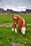 在岩石岸的小牛 免版税图库摄影