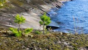 在岩石岸的年轻杉木 免版税图库摄影