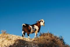 在岩石峭壁的野山羊 图库摄影
