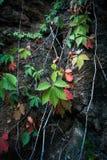 在岩石峭壁自然本底特写镜头的上升的常春藤 库存照片