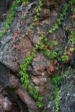 在岩石峭壁自然本底的上升的常春藤 库存图片